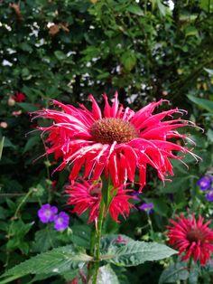 Monarda flower in my garden.