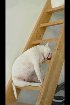 So cute! And such a Bull Terrier thing to do! Love my Bull Terriers so, so much!