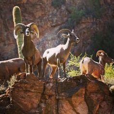 Arizona Big Horn Sheep Arizona's Realty