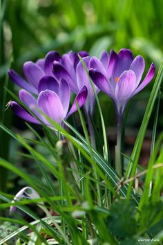 Purple Crocus and today is the first day of Spring.3/20/17. I wish it felt like Spring. Maybe next Fall I can plant some bulbs on the balcony.