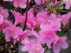 Azalea japonica madame van hecke