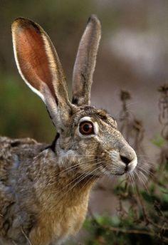 Black-tailed Jackrabbit (Lepus californicus) by Greg Lasley Woodland Animals, Farm Animals, Animals And Pets, Cute Animals, Jack Rabbit, Rabbit Art, Wild Rabbit, Beautiful Creatures, Animals Beautiful