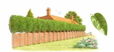 Best Tree for Privacy Fence | ... japonicum, tree privet, planted as raised screening for privacy