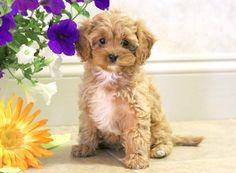 Pretty | Keystone Puppies: Puppies for Sale | Health Guaranteed    #cavapoo #keystonepuppies