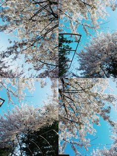 CherryBlossom, jungnang-river