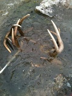 Crazy! Two bucks frozen in a pond in antlerlock..... #badluck #hunting #headsofstate