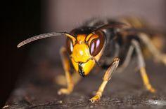 Vespa mandarinia, aussi connu sous le nom de frelon-géant, est la plus grosse espèce de frelons au monde. Elle est aussi la plus grande espèce d'insectes sociaux connue. Décrite au xixe siècle par l'anglais Frederick Smith, cette espèce a la particularité de parfois chasser en groupe. Lorsque le nid est suffisamment développé, plusieurs frelons peuvent partir chasser ensemble, c'est-à-dire éradiquer la population d'un nid d'un autre hyménoptère social (abeille, guêpe ou frelons d'une espèce…