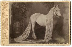 vintage everyday: Long Hair Is Not Just for Humans: Incredible Vintage Pictures of the Long Haired Oregon Horses in the Late 19th Century