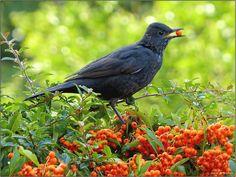 Merel  (Van vroegevogels)