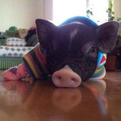 This little guy looks like my piggie😍 Cute Baby Pigs, Cute Piglets, Animals And Pets, Funny Animals, Farm Animals, Cute Little Animals, Little Pigs, Baby Goats In Sweaters, Teacup Piglets