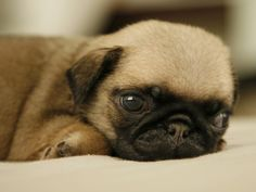 pug puppy <3