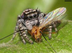 Hier macht sich eine Springspinne über die Raupe eine Mücke her. Auch diese...