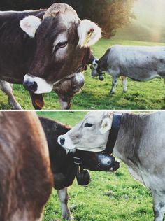 Switzerland, Swiss cows