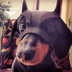10 Things You Didn't Know About Me (I'm BATDOG) – Crusoe the Celebrity Dachshund