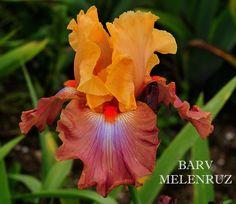 TB Iris germanica 'Barv Melenruz' (Madore, 2001)