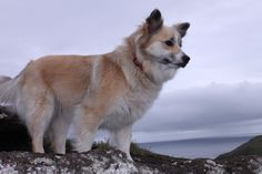 Her name is Embla. She is an Icelandic sheepdog.