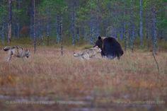 Bears & wolves, Finland   koenfrantzen.com Brown Bear, Wolves, Finland, Panther, Bears, Animals, Animales, Animaux, Wolf