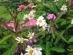 Näitä kukkia kannatti odottaa kaksi vuotta. Itse siemenestä kylvetyt.
