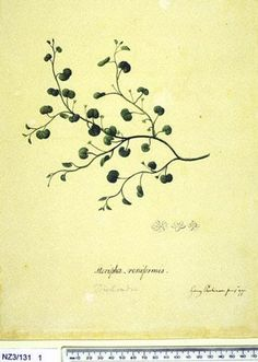 Dichondra Repens - - New Zealand  -  artist Sydney Parkinson, Curtis's bot. Mag. 49: t. 2350 [1822].  The Endeavour botanical illustrations -