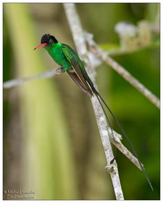 Jamaica Hummingbird aka doctor bird or swallow tail hummingbird, is one of the most outstanding of the 320 species of hummingbirds. ~ photography of Michel Lamarche ~
