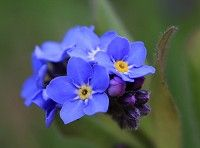 Forget-me-not (Myosotis sylvatica) Source= english-country-garden.com