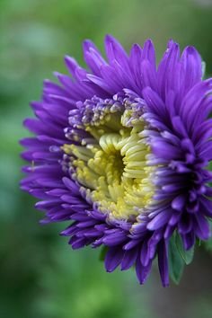 ~~In To Bloom ~ purple Aster by Neal Eslinger~~[fineartamerica]