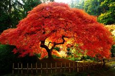 Cheap bonsai red, Buy Quality bonsai seeds directly from China bonsai tree seeds Suppliers: 20 PCs. the American Red Maple Tree Seeds Bonsai For Garden Planting Rare Maple home planting seeds Trees And Shrubs, Flowering Trees, Trees To Plant, Tree Planting, Planting Seeds, Amur Maple, Landscaping Trees, Outdoor Landscaping, Tree Seeds