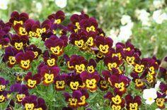 Paarse viooltjes met geel hartje