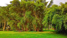 1280px-Bamboos_bambusa_vulgaris_sao_paulo_botanical_garden_brazil.jpg (1280×722)