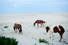 6 of 28 SEE ALL  A group of feral horses walk towards the ocean at the Assateague Island National Seashore in Berlin, MD, on August 20, 2013. During the hot summer months the horses of the Assateague herd can often be found by the beach, where the breeze limits the bugs.