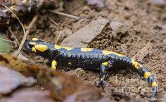Fire Salamander - photo by Jivko Nakev