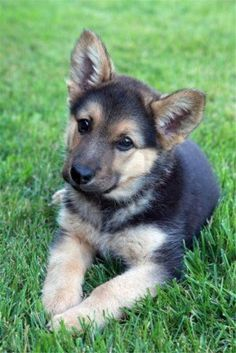 More About The Confident German Shepherd Puppies #germanshepherdlovers #germanshepherd_corner #germanshepherdfunny