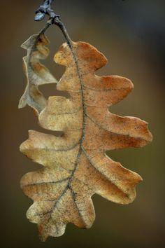coffeenuts:fatchance:Remnants: Gambel oak (Quercus gambelii). On the Arizona…