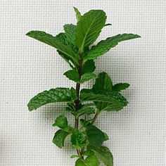 Mint: Peppermint and spearmint are favorites for flavoring teas, salads, soups, and cool drinks.
