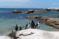 Cape Point penguins in South Africa Most Beautiful Cities, Cape Town, South Africa, Creatures, City, Pictures, Animals, Photos, Animales