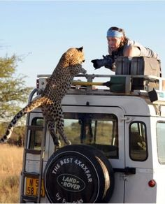 A leopard gives wildlife photographer Sergey Kotelnikov a scare when it jumps atop a Land Rover on June 3 for an unplanned close-up shot in the dry lands of Namibia. Landrover Defender, Defender 90, Land Rovers, Mustang, Best 4x4, Picture Fails, Ocelot, Mundo Animal, African Safari