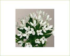 Jowhite - Bouvardia - Flowers and Fillers - Flowers by category | Sierra Flower Finder