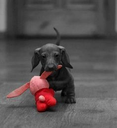 Baby dachshund with a red toy Dachshund Funny, Dachshund Puppies, Dachshund Love, Cute Puppies, Pet Dogs, Dogs And Puppies, Dog Cat, Doggies, Daschund