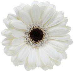 Gerber Daisy White With Black Center Bulk Fresh Flowers (80 stems)