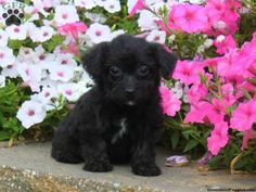 Crystal, Yorkie-Poo puppy for sale from Quarryville, PA Mans Best Friend, Best Friends, Yorkie Poo Puppies, Greenfield Puppies, Teacup Yorkie, Puppies For Sale, Animal Pictures, Crystals, Doggies