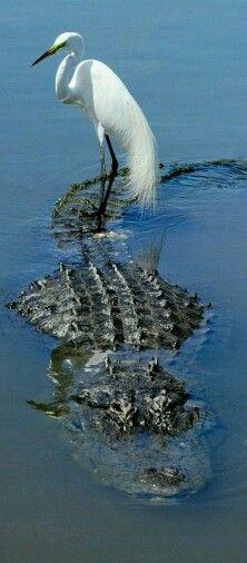 Gator Taxi
