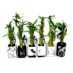 Plantas que Evitam o Mau-Olhado 8