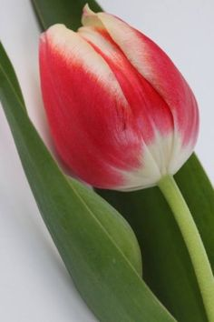 tulipa @@