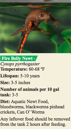 Keeping Fire Belly Newts in captivity.