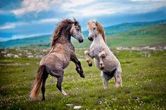 Bosnian Wild Horses   Livno, Bosnia & Herzegovina