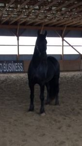 3.5 YO Friesian Gelding For Sale