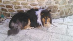 Glascow, chien Colley à poil long