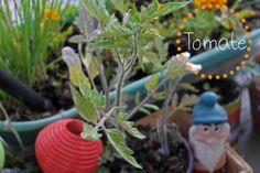Tomatenpflanze vom Blumenwichteln