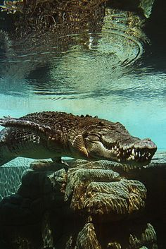 Crocodiles can hold their breath for 2 hours or more if they need to!