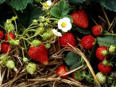 Learn how to propagate and plant strawberry runners with this step-by-step guide from HGTV.